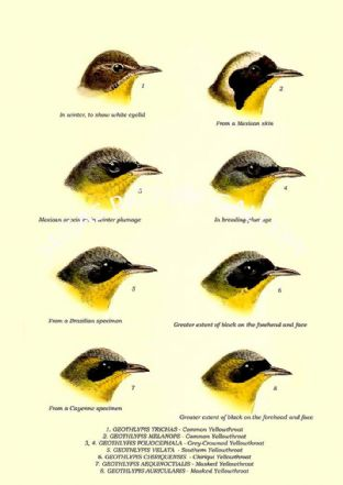 GEOTHLYPIS TRICHAS - Yellowthroat, POLIOCEPHALA - Grey-Crowned, VELATA - Southern, CHIRIQUENSIS
